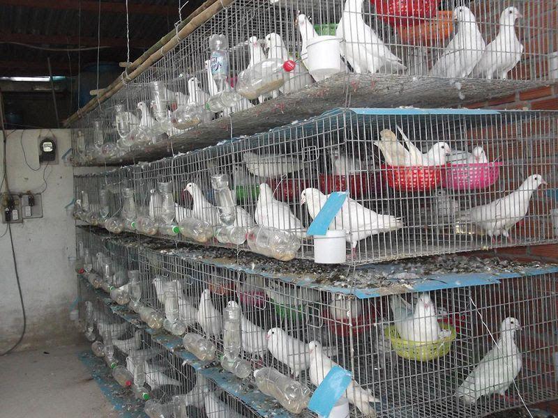 Cách nuôi chim bồ câu nhốt chuồng. Cách nuôi chim bồ câu thả rong