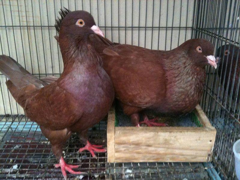 Cách nuôi chim bồ câu gà. Kỹ thuật nuôi chim bồ câu gà năng suất cao