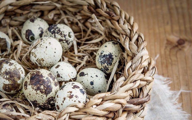 Cách nuôi chim cút đẻ trứng. Mô hình nuôi chim cút sinh sản làm giàu