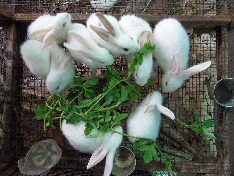 Cách chăn nuôi thỏ: Thức ăn cho thỏ. Cách phòng & trị bệnh cho thỏ