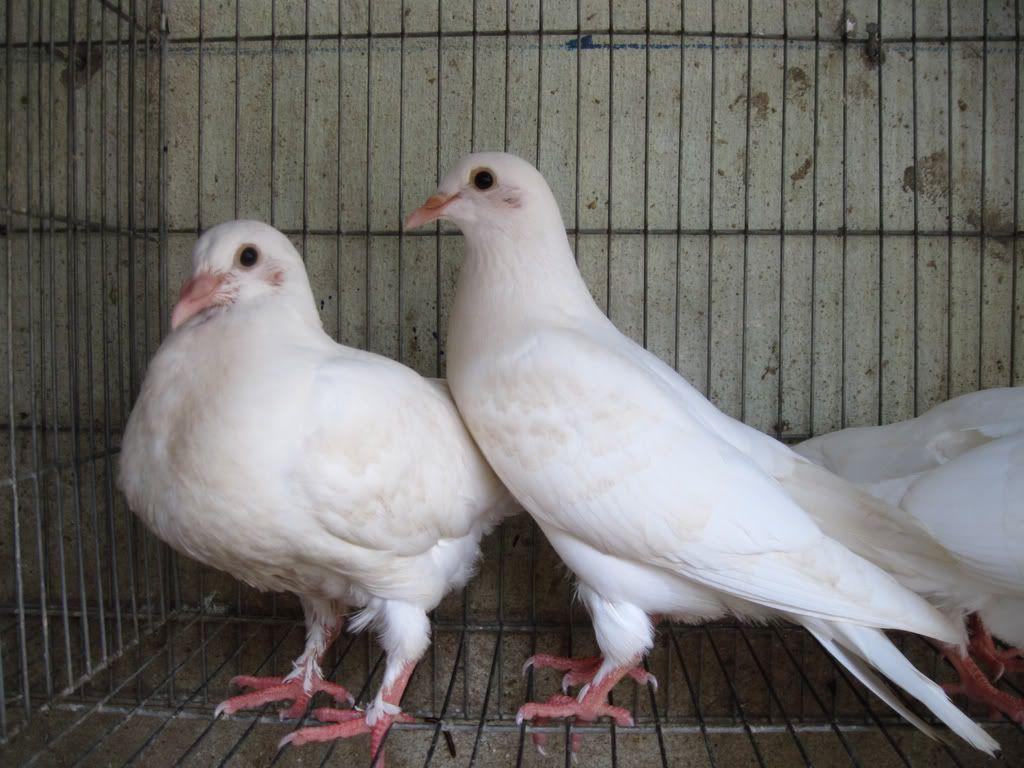 Chim bồ câu Pháp. Địa chỉ bán bán bồ câu Pháp giống uy tín ở 3 miền
