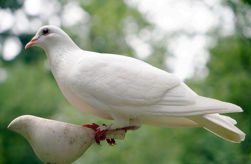 Giá chim bồ câu giống. Các giống chim bồ câu thịt & bồ câu kiểng ở VN