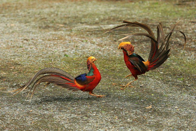 Các giống chim trĩ. Giá chim trĩ đỏ & chim trĩ xanh giống hiện nay