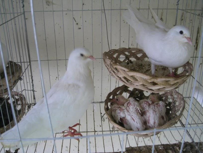 Kỹ thuật nuôi bồ câu Pháp sinh sản. Cách nuôi bồ câu Pháp sinh sản