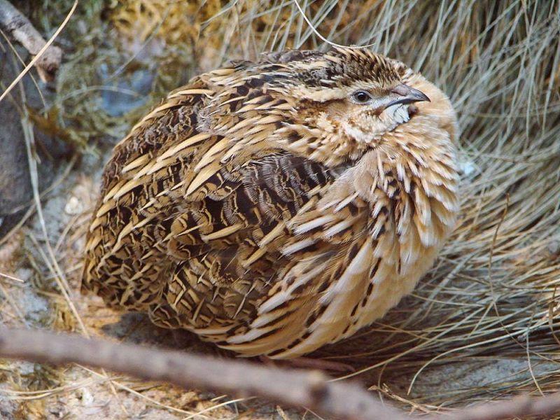 Kỹ thuật nuôi chim cút thịt. Cách nuôi chim cút thả vườn & nhốt chuồng
