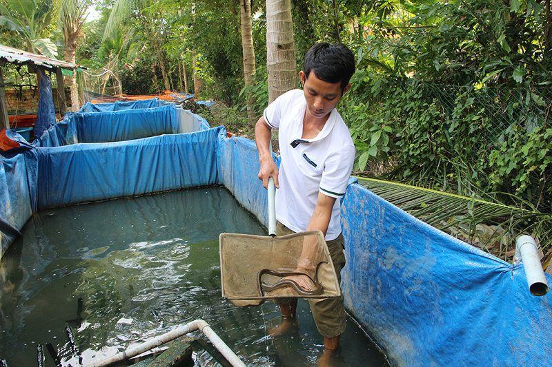 Kỹ thuật nuôi lươn. Cách nuôi lươn hiệu quả. Mô hình nuôi lươn làm giàu