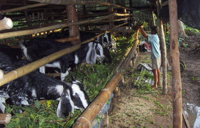 Mô hình và kỹ thuật nuôi dê sinh sản, nuôi dê lấy thịt và lấy sữa