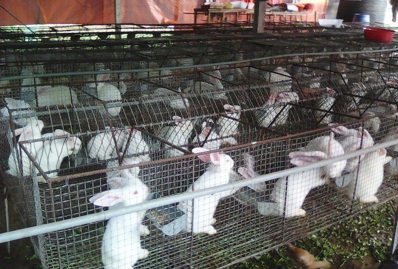 Mô hình nuôi thỏ. Kỹ thuật nuôi thỏ trong nhà & nuôi thỏ thả vườn