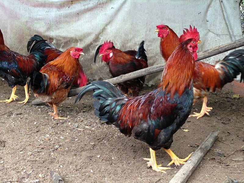 Các giống gà ta có giá trị kinh tế cao được nuôi nhiều nhất hiện nay