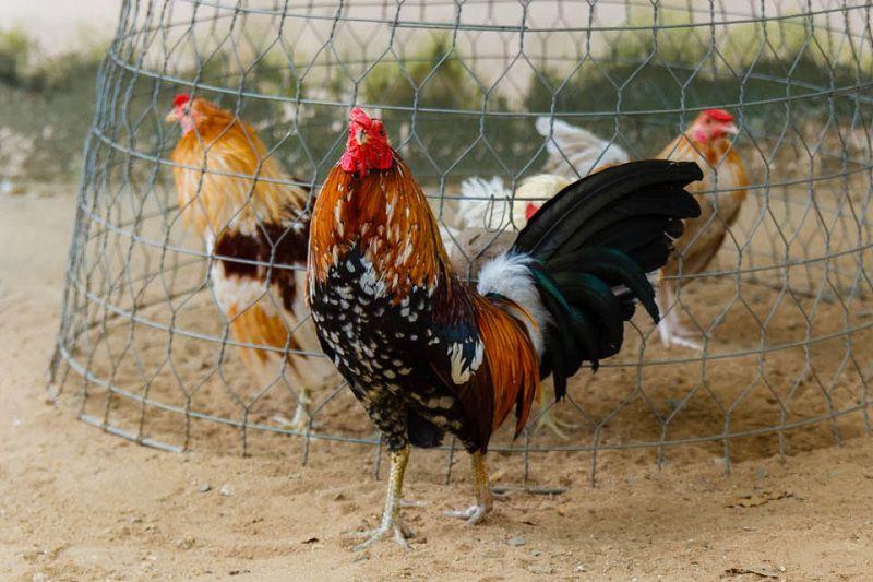 Cách nuôi gà tre mái đẻ & gà tre thịt. Thức ăn cho gà tre theo từng giai đoạn