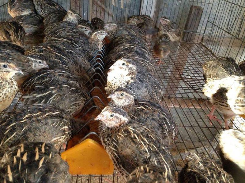 Chuồng nuôi chim cút. Kỹ thuật làm chuồng nuôi chim cút khoa học