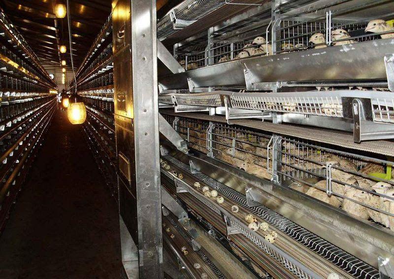 Giá chim cút giống, chim cút thịt và trứng cút. Mua chim cút giống ở đâu?
