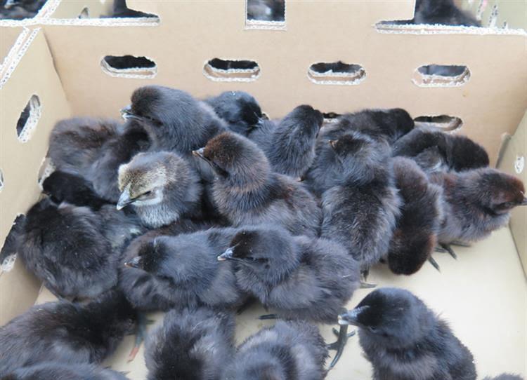 Giá gà H'mông giống. Trang trại mua bán gà H'mông giống thuần chủng