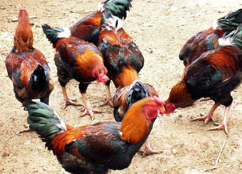 Trang trại bán gà Hồ giống thuần chủng. Giá gà Hồ giống và thịt hiện nay