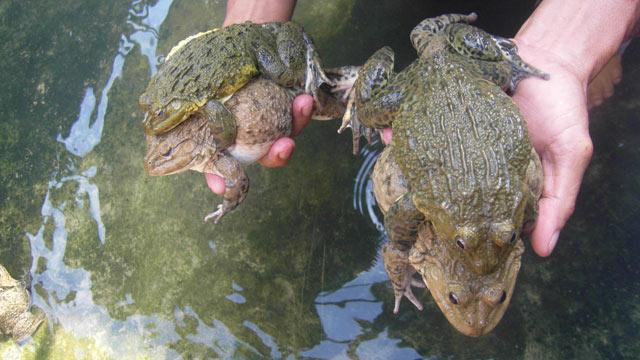 Kỹ thuật nuôi ếch sinh sản. Hướng dẫn kỹ thuật sản xuất ếch giống