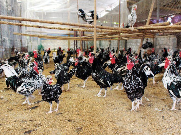 Kỹ thuật nuôi gà quý phi thuần chủng. Thức ăn cho gà quý phi