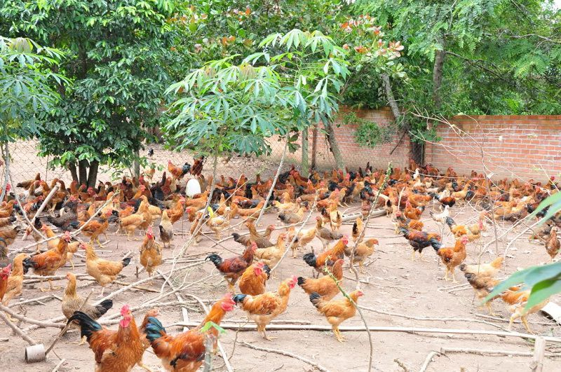Kỹ thuật nuôi gà thả vườn. Mô hình trang trại nuôi gà thả vườn hiệu quả