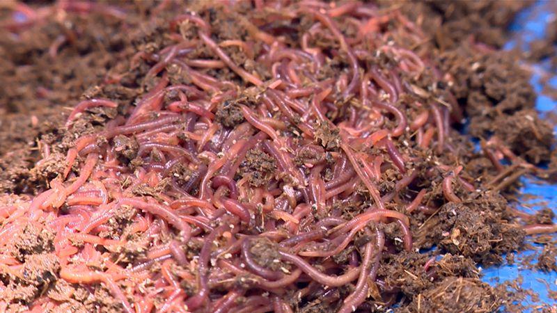 Thức ăn cho lươn. Thức ăn tự nhiên & thức ăn công nghiệp cho lươn