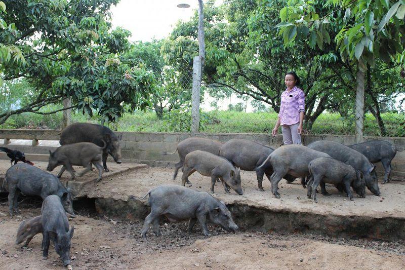 Giá lợn mán giống và thịt. Trang trại bán lợn mán giống uy tín