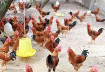 Nuôi gà thả vườn cần bao nhiêu vốn? Giá các giống gà thả vườn tốt nhất hiện nay
