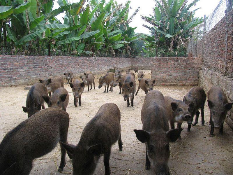 Giống lợn rừng Thái Lan. Nông dân làm giàu từ nuôi lợn rừng Thái