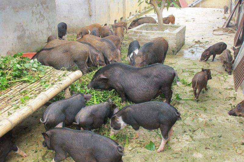 Lợn Mán - Lợn Mường Khương. Kỹ thuật nuôi lợn mán cơ bản