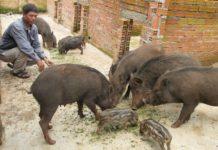 Kỹ thuật nuôi lợn rừng thịt & sinh sản. Cách nuôi heo rừng làm giàu