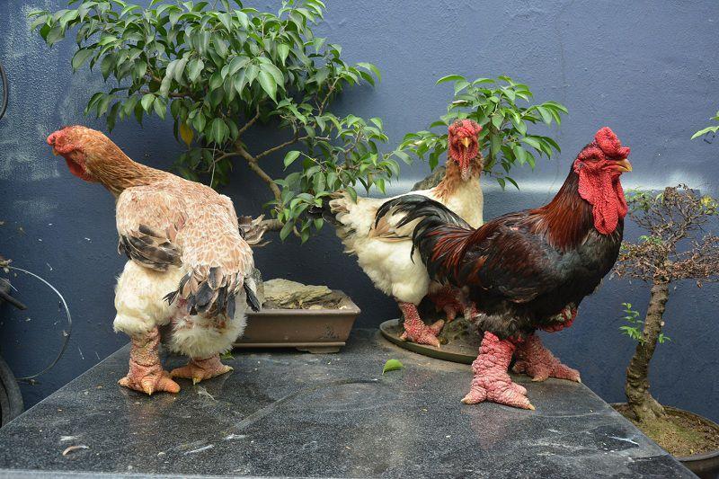 Gà Đông Tảo thuần chủng. Mô hình làm giàu từ chăn nuôi gà Đông Tảo