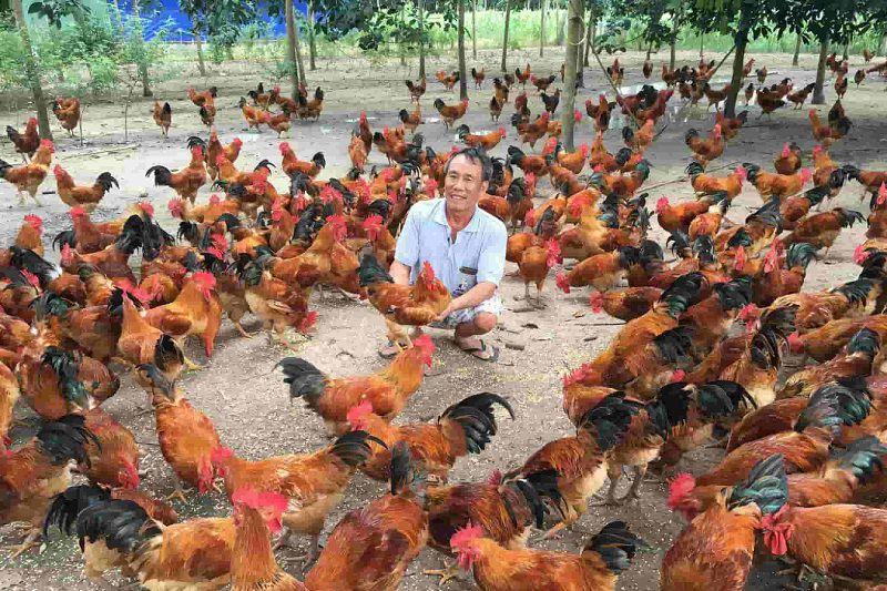 Trang trại nuôi gà thả vườn. Chi phí xây dựng trang trại gà thả vườn