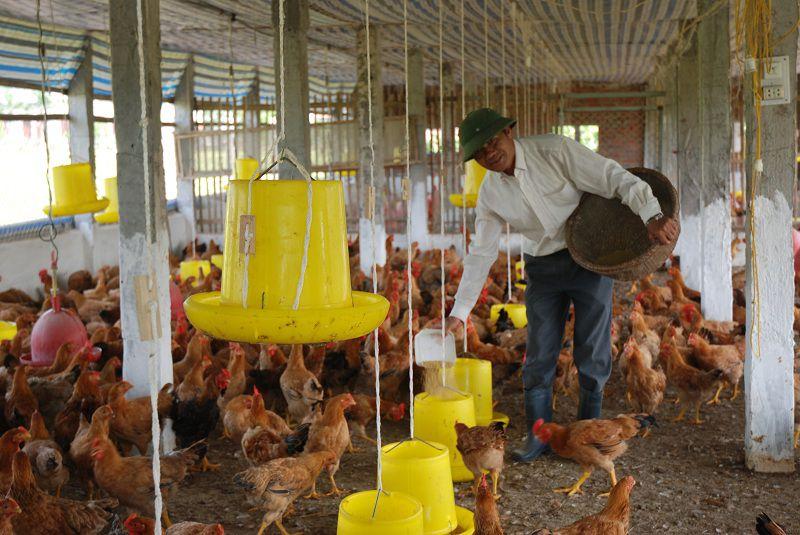 Nuôi gà ta làm giàu. Những nông dân trẻ làm giàu từ nuôi gà ta