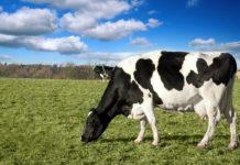 Các giống bò sữa ở Việt Nam hiện nay. Giá tinh trùng bò sữa giống