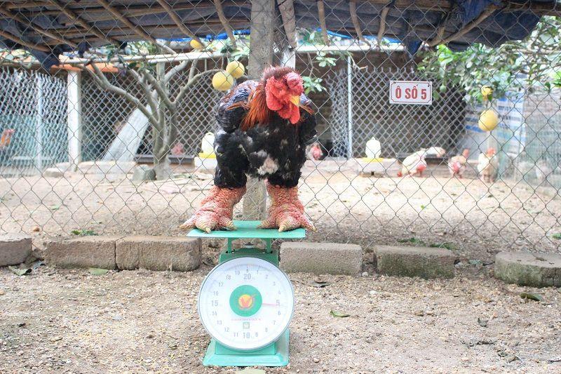 Kỹ thuật nuôi gà Đông Tảo. Chuồng nuôi & Thức ăn cho gà Đông Tảo thuần chủng