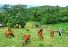 Hướng dẫn cách trồng cỏ nuôi bò. Các giống cỏ nuôi bò tốt nhất