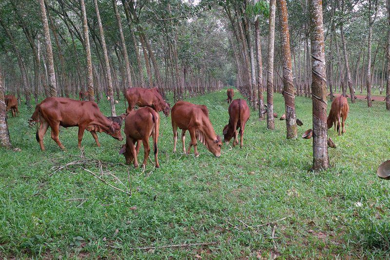 Chăn nuôi bò làm giàu. Những nông dân trẻ làm giàu từ chăn nuôi bò