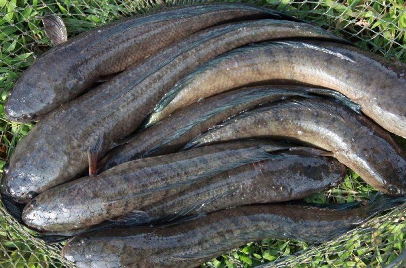 Giá cá lóc nuôi & Cá lóc giống hiện nay. Địa chỉ bán cá lóc giống uy tín