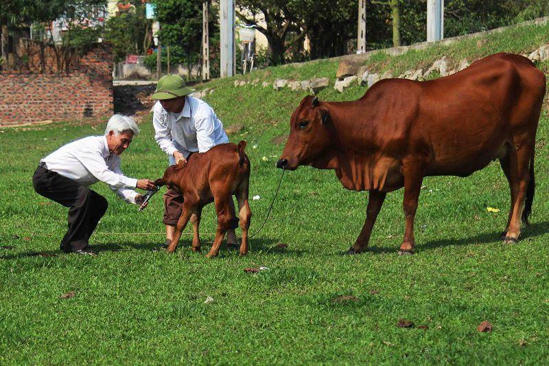 Giá bò giống và giá bò thịt hiện nay. Các trang trại mua bán bò giống trên cả nước