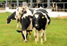 Kỹ thuật chăn nuôi bò sữa. Mô hình nuôi bò sữa cho năng suất cao
