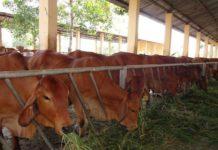 Kỹ thuật chăn nuôi bò thịt. Các giống bò thịt tốt nhất hiện nay