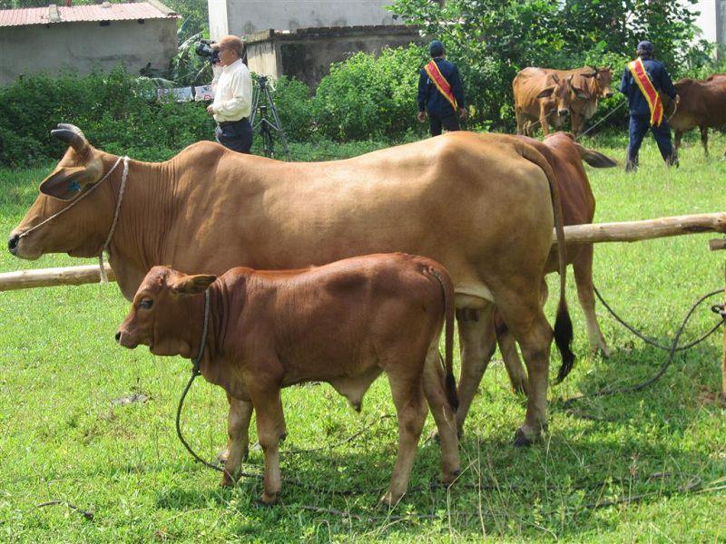 Kỹ thuật nuôi bò sinh sản. Mô hình chăn nuôi bò sinh sản nhốt chuồng