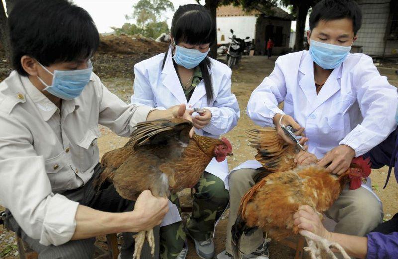 Lịch tiêm phòng cho gà thả vườn. Phòng bệnh cho đàn gà thả vườn