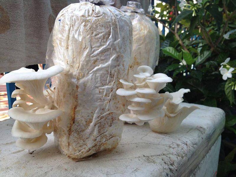 Giá nấm sò (nấm bào ngư). Quy trình kỹ thuật trồng & chăm sóc nấm sò