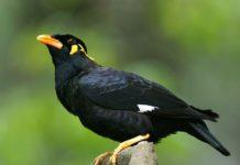 Kỹ thuật nuôi chim Nhồng (yểng) cho năng suất và hiệu quả kinh tế cao
