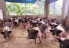 Giá lợn giống Móng Cái. Kỹ thuật nuôi lợn Móng Cái cho hiệu quả kinh tế