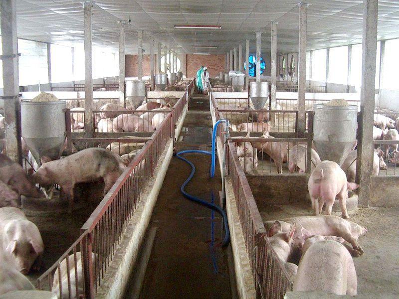 Cách làm chuồng nuôi heo thịt. Thiết kế chuồng nuôi lợn thịt chi tiết