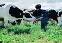 Chi phí đầu tư, sản xuất sữa bò tại trại. Một số nông trại bò sữa điển hình