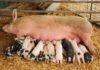 Kỹ thuật chăn nuôi heo nái. Nhận biết heo sắp đẻ. Thức ăn cho heo nái nhiều sữa