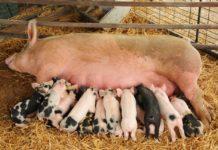 Mô hình và kỹ thuật chăn nuôi lợn nái sinh sản cho hiệu quả kinh tế cao