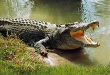 Chi phí đầu tư trang trại nuôi cá sấu. Kỹ thuật nuôi cá sấu lấy thịt và da