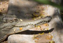 Giá thịt và da cá sấu. Địa chỉ bán cá sấu giống tốt và uy tín trên toàn quốc