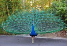 Giá chim Công hiện nay. Trang trại bán chim công giống, chim công con các loại